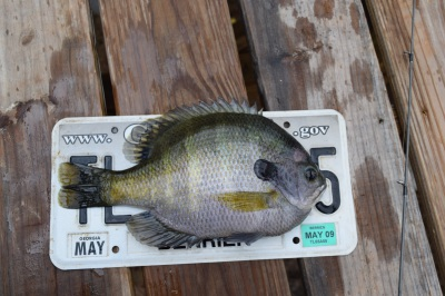 Copper nose bluegill